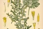 Absinthe Artemisia absinthium