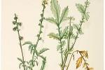 Aigremoine Agrimonia Eupatoria