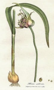 ail plante