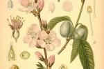 Amandier Prunus Dulcis