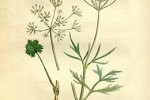 Anis vert Pimpinella Anisum