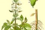 Basilic Ocynium Basilicum