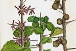 Baume de Gilead Commiphora opobalsamum