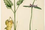 Bétoine Stachys officinalis ou Betonica officinalis