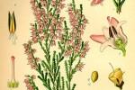 Bruyère Calluna vulgaris