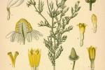Camomille Anthemis nobilis