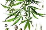 Chanvre Indien Cannabis sativa ou indica