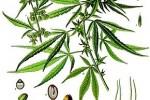 Chanvre Indien Cannabis sativa ou indica
