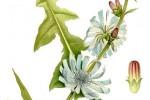 Chicorée Cichorium intybus