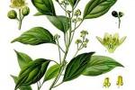 Camphrier Cinnamomum camphora