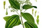 Cannelier Cinnamomum zeylanicum, C. verum