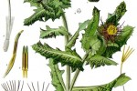 Chardon bénit Carduus benedicta ou Cnicus benedictus
