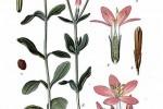 Centaurée Centaurium erythraea