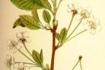Cerisier Prunus Avium