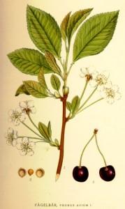 Planche de botanique de Carl Lindman