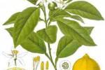 Citronnier Citrus limon