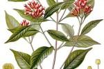 Clou de Girofle Syzygium aromaticum