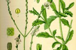 Verveine Verbena officinalis