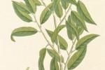Saule blanc Salix alba