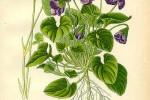Violette Viola odorata