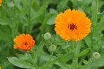 5 plantes qui favorisent la cicatrisation