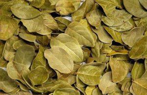 feuilles de boldo