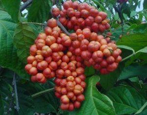 fruits de guarana contre la fatigue